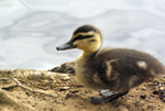 Duckling of Pacific Black Duck