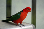 Brilliantly coloured King Parrot