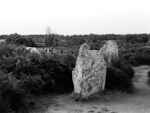 Cows and megalithic standing stones, Carnac