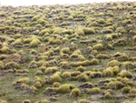 Tussock grass in the Flinders Ranges