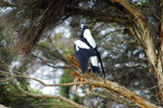 Magpie proclaiming its territory