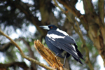 Magpie resting on a branch